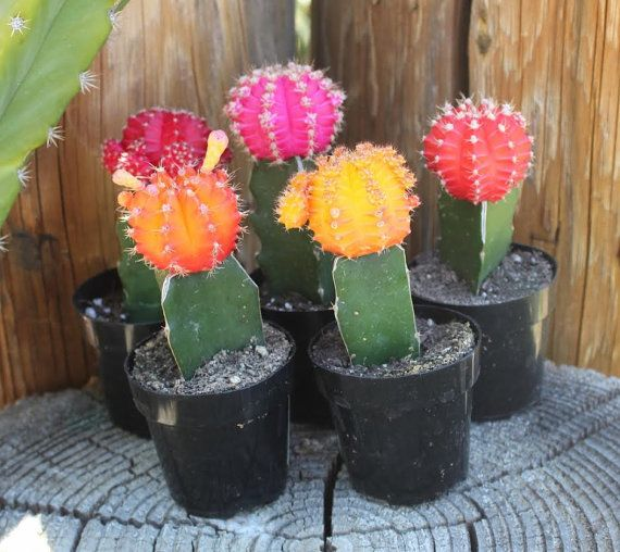 GLOW CACTUS  This collection is for our 2.5 inch prickly and pokey beautiful Glow Cactus! These guys will fit perfectly into the RevolutionDH
