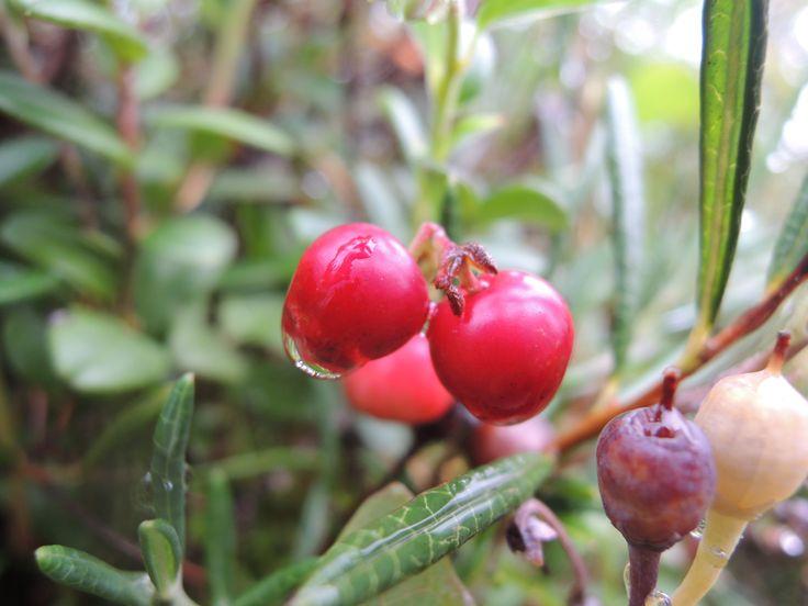 Photo of cowberry made in the Arkhangelsk Region (Russia)  Etsy: https://www.etsy.com/shop/FoxberryForest  DeviantArt: http://anastasia-foxberry.deviantart.com/