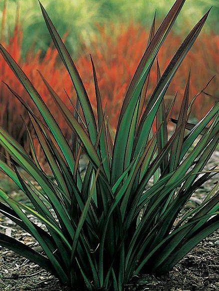 New Zealand Flax - Said to be the best plant for home made twine. Shade loving. Wet or dry soil. Use leaves fresh for twine - cut and split them. P. 'rubrum' is one of the more subtle looking ones.
