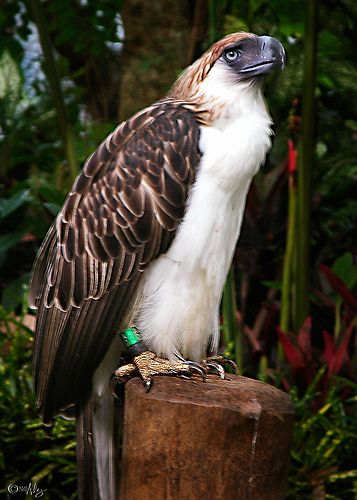 Monkey-eating Eagle (Haribon) by MalNino, via Flickr ...