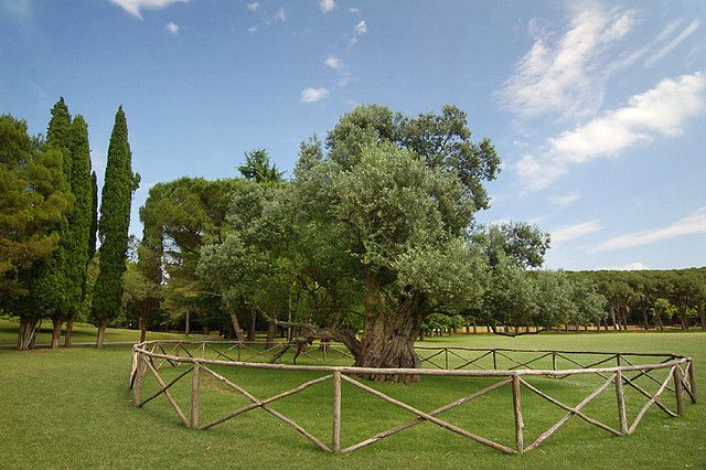The ancient olive tree of Brijuni Island, Croatia. Istria