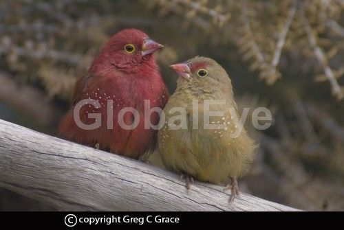 Red-billed Firefinch 'Lagonosticta senegala'. The Red-billed Firefinch 'Lagonosticta senegala' is a small  finch native  to sub-Saharan Africa. Their main diet is small grains and seeds.Photograph By Greg  C   Grace #BirdsPhotography
