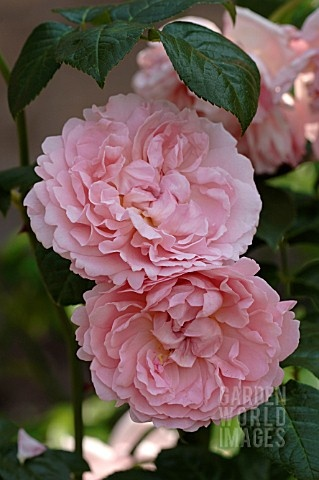 Strawberry Hill English Rose