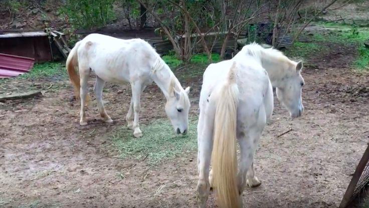 """Im November 2016 rette die französische Tierschutzorganisation  """"30 Million d´Amis"""" 27 unterernährte Tiere (26 Pferde & 1 Esel) von einem Hof im..."""