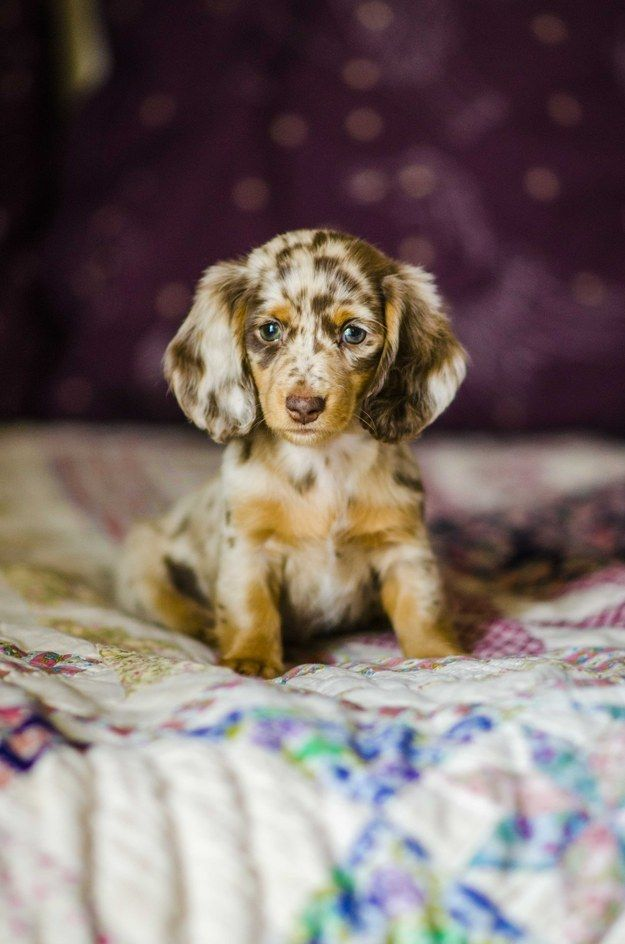 When is the last time a wiener penetrated your soul this deeply? | Community Post: 13 Reasons Why You Need A Hairy Wiener In Your Life  Long hair dapple dachshund puppies. black and tan weenie dog. brown and tan wiener dog. red sausage dog puppy. dachshund humor