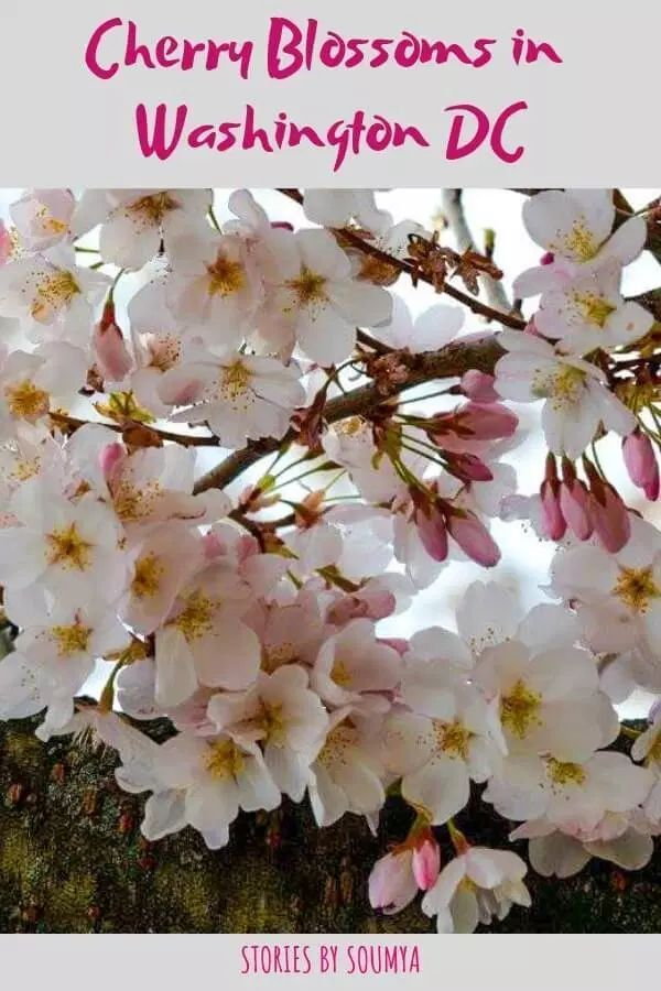 Cherry Blossoms In Washington DC – A Quick Guide
