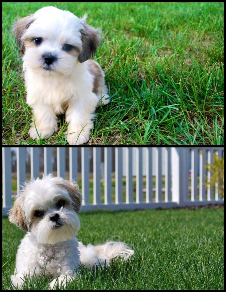 shih tzu maltese poodle mix 30 best maltese shih images on pinterest animal babies 1698