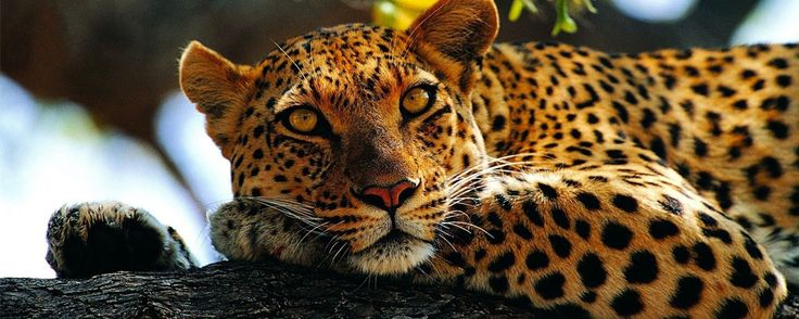 The leopard is a graceful, powerful and cunning big cat closely related to lions, jaguars and tigers. They live in sub-Saharan Africa, northeast Africa, Central...