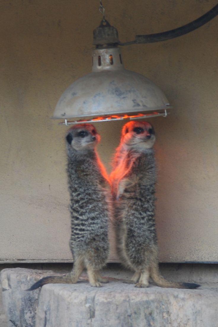 Meerkats keeping warm at the London Zoo