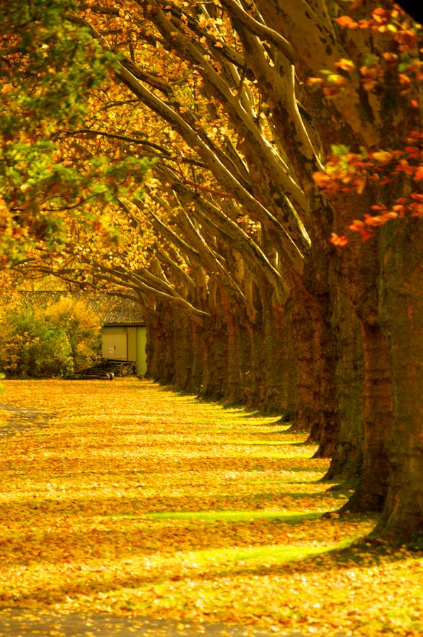 Tree row in fall. I want to know where this is!...I would so get married there!!!