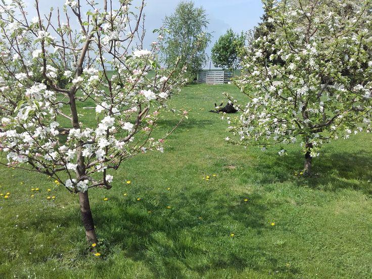 Kvetoucí jabloně - konec dubna 2018.