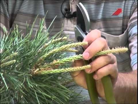 Весенняя ОБРЕЗКА ХВОЙНЫХ растений мастер класс - YouTube