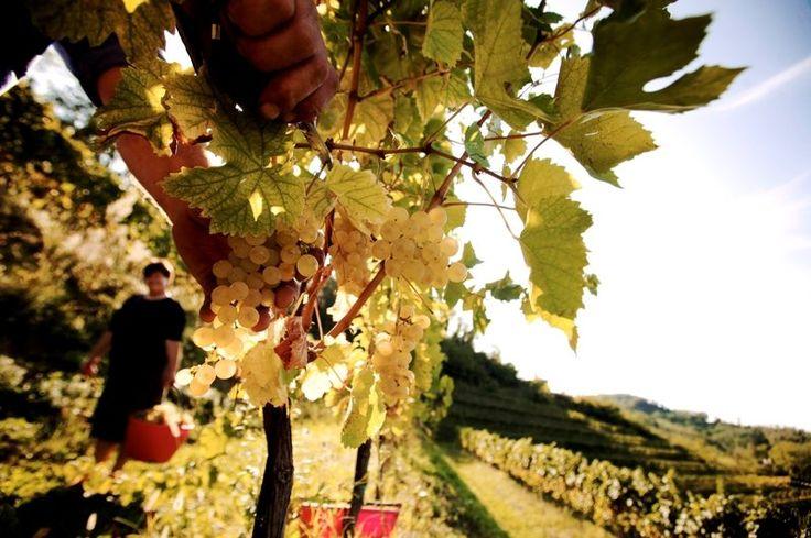 Friuli Venezia Giulia, terra di grandi vini Orientarsi tra DOC e DOCG Friuli Aquileia, Carso, Collio, Friuli Colli Orientali, Friuli Grave, Friuli Latisana, Friuli Isonzo, Friuli Annia sono le zone DOC (Denominazione di Origine Controllata) del Friuli Venezia Giulia,   Photo:http://www.turismofvg.it/ http://www.eventinews24.com/2014/08/friuli-venezia-giulia-terra-di-grandi.html