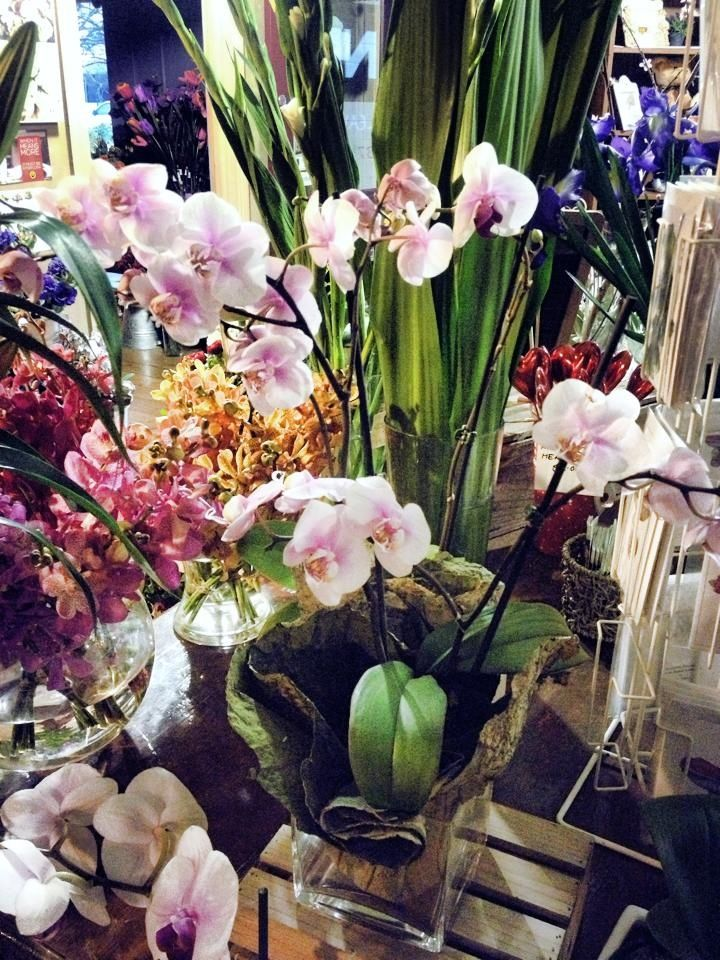 Beautiful moth orchids