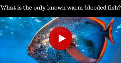Hint: it has 4 letters and is allowed in Scrabble! This video explains the clever way this fish maintains and controls its body temperature.