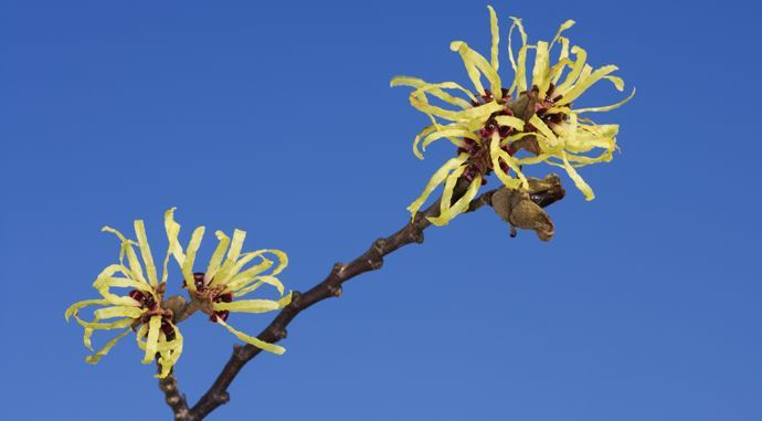 What is witch hazel used for?