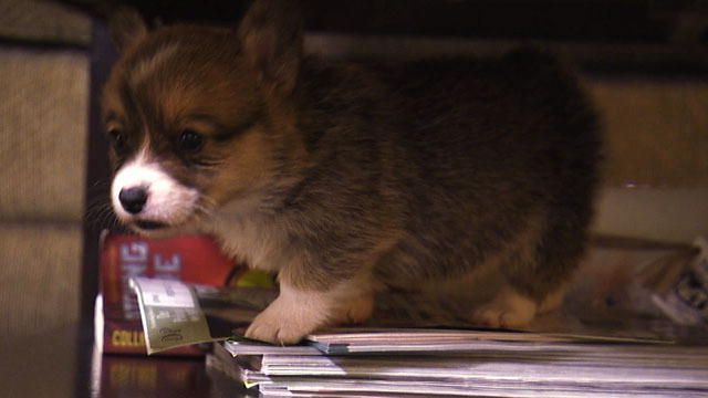 Short Legs? No Problem! Corgi Pups Learn to Climb | Too Cute ...