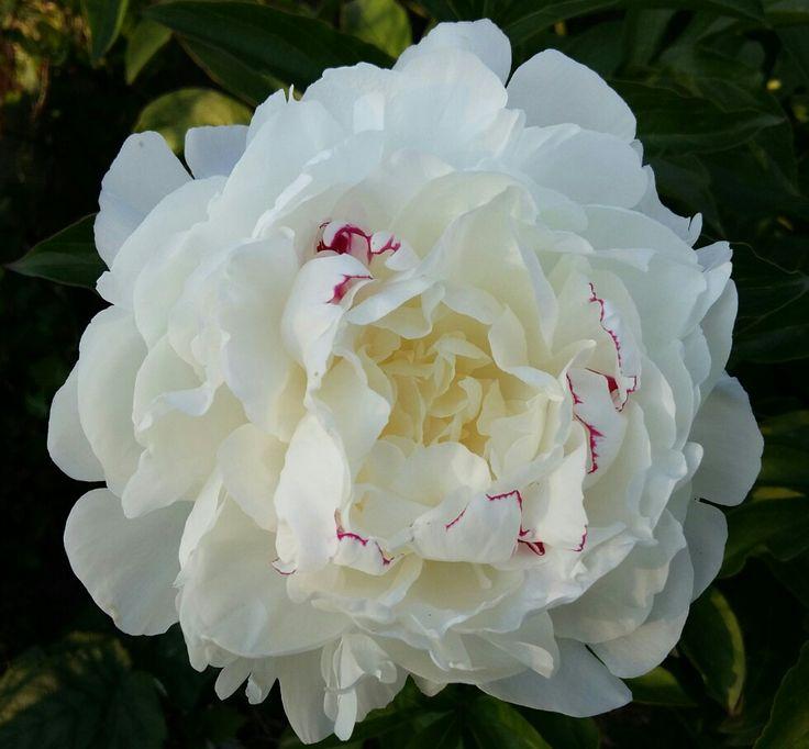 White Paeonia