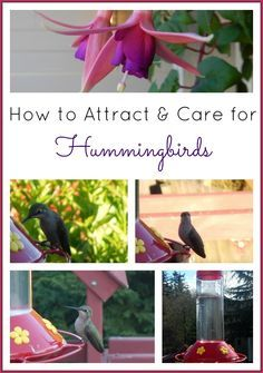 How to Attract & Care for Hummingbirds (Plants to Grow, Homemade Hummingbird Food) -- great project for kids.