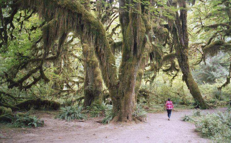 'Green Drapes', Washington, Olympic National Park, Hoh Rain Forest   「グリーンカーテン」、ワシントン、オリンピック国立公園、ホー·レインフォレスト