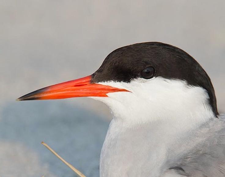 Common Tern, Long Island, New York, portrait photo by Arthur Morris