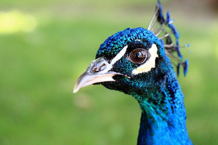 peacock in Třeboň, Czech rep.