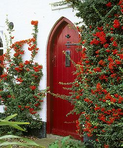 Pyracantha complements a red door