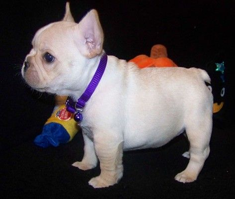 Cute French Bulldog Puppies For Sale at 50% 12hrs Home Delivery Guaranteed.    Available- Female Name: Penny 10 weeks What's included: Registered/registrable, Current vaccinations, Veterinarian examination, Health certificate, Health guarantee  With his stunning blue eyes, it's little wonder that she has such cute eyes. But