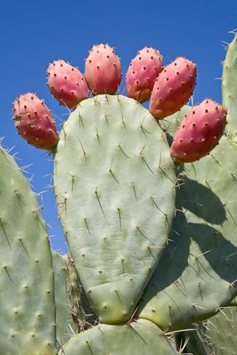 Prickly pear cactus. The fruit is delicious but watch out for the fine needles that are hard to see!