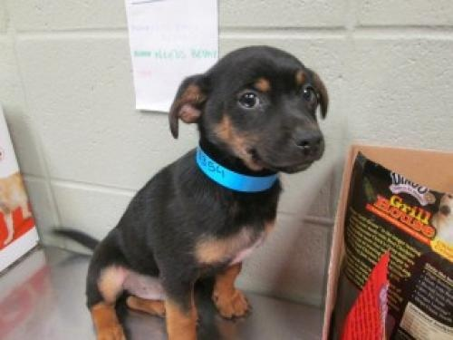82 best dogs images on pinterest dog training pooch workout and tombstone 78354 is an adoptable terrier dog in joplin mo puppy was found in mcclelland solutioingenieria