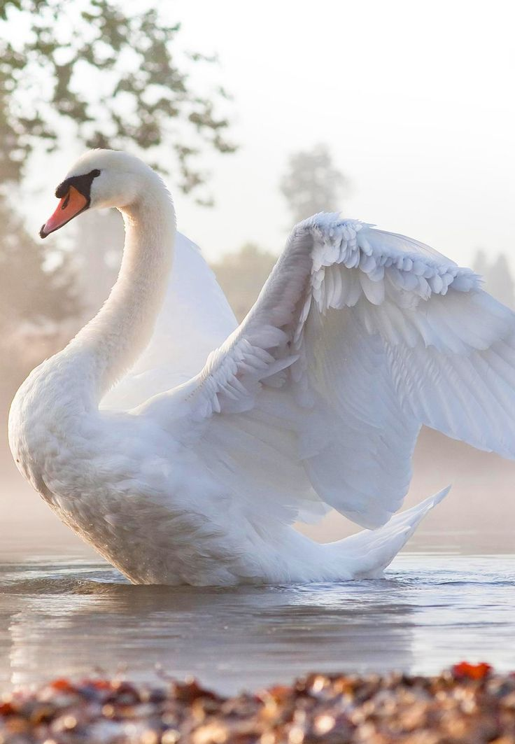 Beautiful swan. Makes me think of the swans in Springbank Park in Ontario, swimming through the willows along the waters edge.