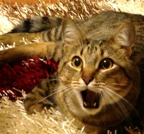 Gato sorprendido. #surpris #chat #peur #surprised #cat #scare