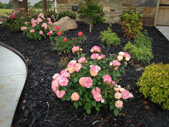 Dwarf nandina and drift roses - I love this combination. Will put some in my front yard flower bed.