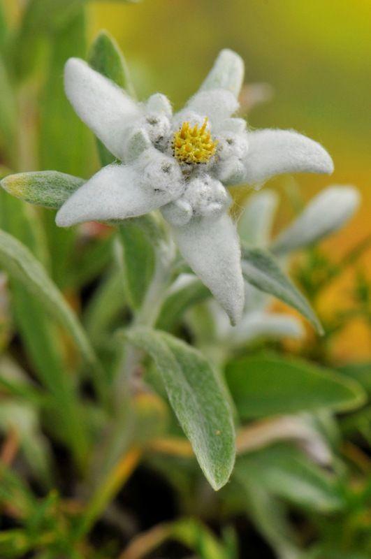 Floarea-de-colţ, regina Carpaţilor - Casa și Grădina
