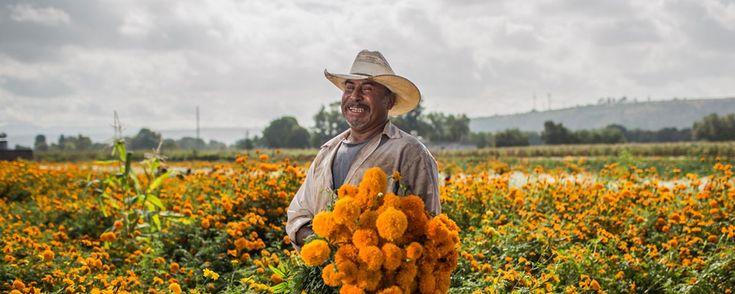 La flor de cempasúchil, un ícono de Día de Muertos. Famosa por su intenso color amarillo y por su tradicional uso en las ofrendas de Día de Muertos, esta planta es un ícono de México en el mundo. ¡Conoce sus orígenes y diferentes aplicaciones!