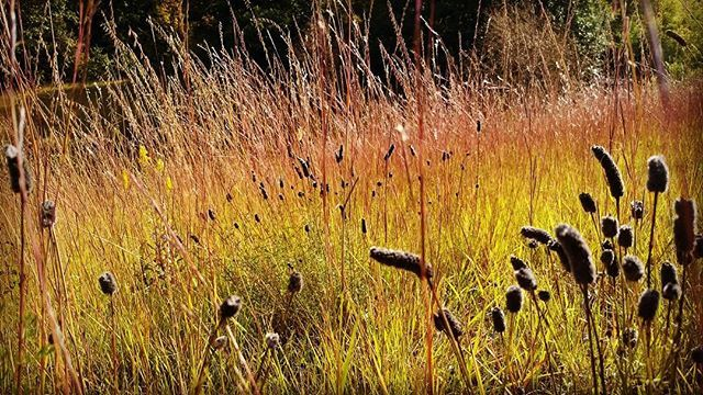 Little bluestem and sideoats grama and purple prairie clover. Autumn is for lovers. #garden #gardendesign #gardening #gardensofinstagram #instagarden #landscape_captures #landscapes #landscapedesign #landscapelovers #naturephotography #nature_perfection #nature #nativeplants #prairie #bns_landscape #flowers #autumn #instagood #photooftheday #ig_today #gdfallcolor