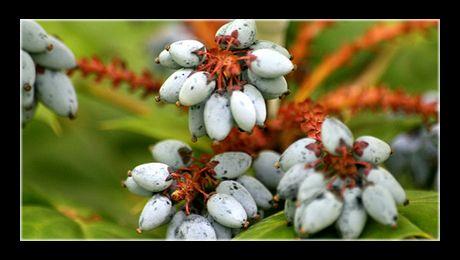"""""""Strugurii de Oregon"""" (Mahonia aquifolium). Mahonia reprezintă un gen de arbuști spinoși, sempervivescenți, din familia Berberidaceae, din care fac parte aproximativ 70 de specii, nativi, cei mai mulți, din America de Nord. Mahonia aquifolium este un arbust..."""