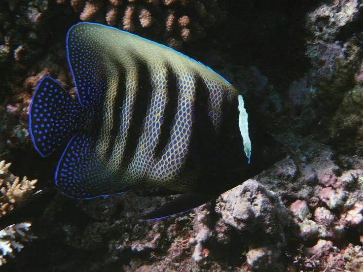 made by  @underthesea_24 -  ロクセンヤッコ成魚はいっぱいいたけど幼魚も見たかったな相方撮影#オーストラリア#ケアンズ#クイーンズランド州#グレートバリアリーフ#珊瑚#海#青#アウターリーフ#ロクセンヤッコ#australia #cairns#queensland#greatbarrierreef#ocean#sea#blue#underthesea#coral#outerreef#sixbandedangelfish #yulialaymina #underwater_world_ by underwater_world_ http://ift.tt/1UokkV2