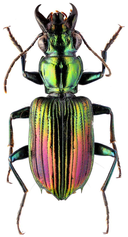 Catascopus Catascopus phlogops - Carabidae