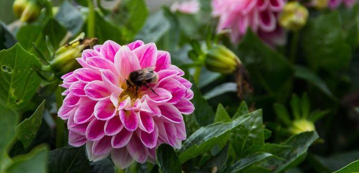 Originară din Mexic, dalia este o plantă de gradină foarte cultivată datorită varietăților, culorilor și duratei de înflorire. Înaltă de aproximativ 2m, dalia are tulpina ușor lemnificată și frunze mari. Floarea daliei poate fi de cinci feluri: floare simplă, floare de anemone, floare aplatizată, pampon sau cactus, ... Citește mai departe...