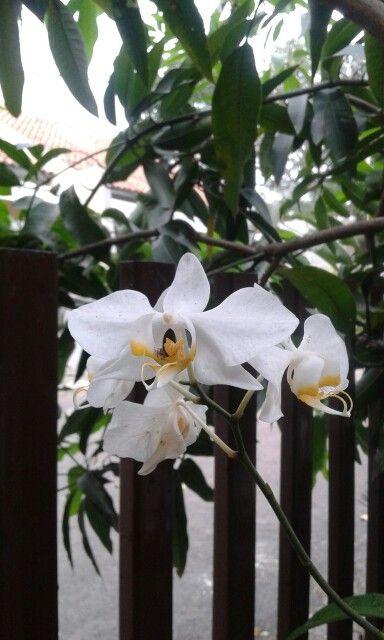 Orchid - Koleksi anggrek 6