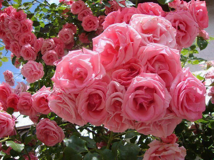 roses (720×540)