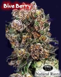 Resultado de imagen para marihuanas tipos