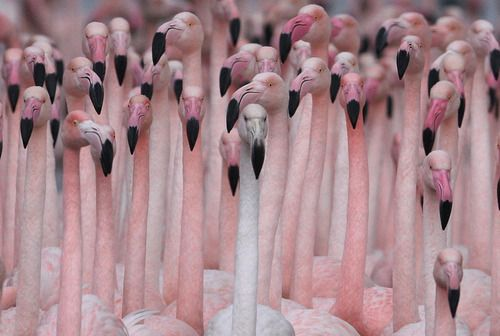 flamingosFlamenco, Friends, Inspiration, Animal Photography, Pink Flamingos, Colors, Birds, Black, Pink Parties