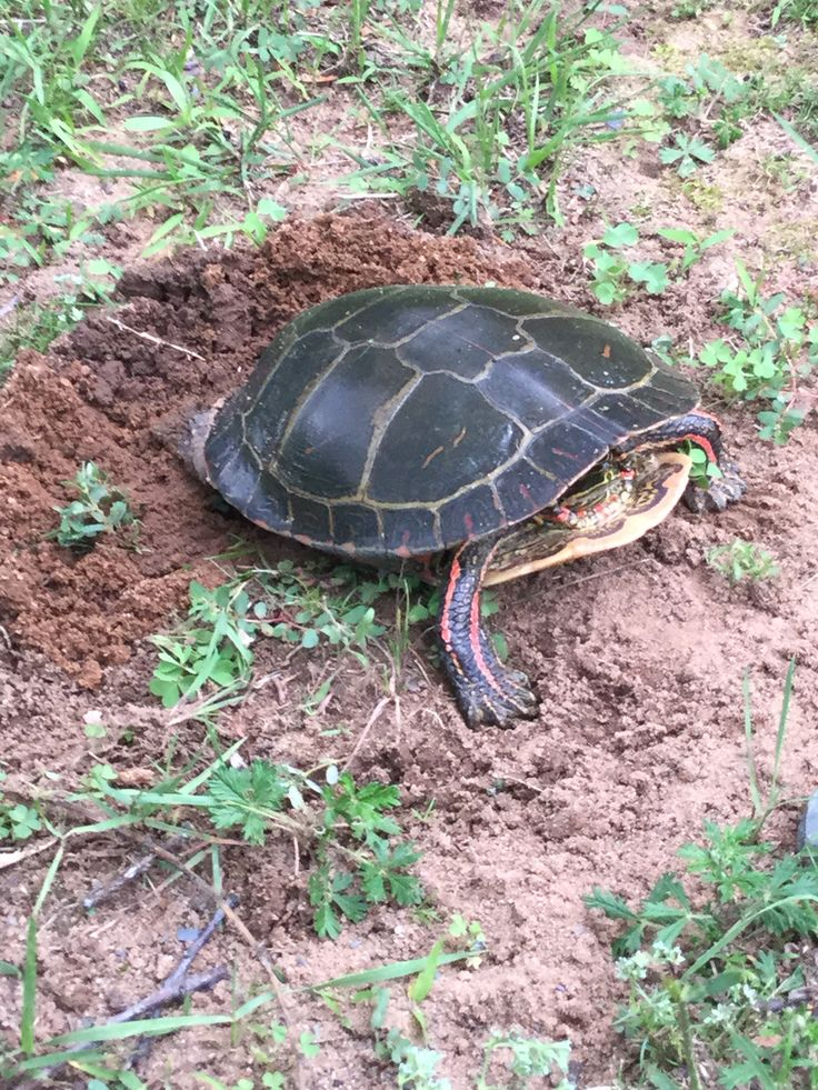 Turtle laying it's eggs Cute reptiles, Small dog names