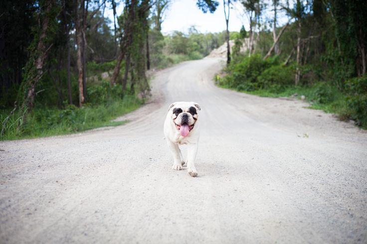 Jay (Allottabull Arnold) - Aussie Bulldog