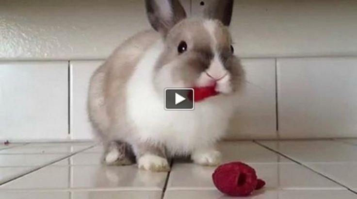 Cute Bunny Munching On Raspberries!