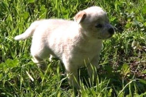 Queensland Heeler Puppy Dogs For Sale In Ventura County Southern California Adorable Now Darby Has Puppies 5 Week Heeler Puppies Blue Heeler Puppies Puppies