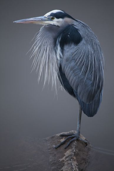 Great Blue Heron by Kent Kobersteen