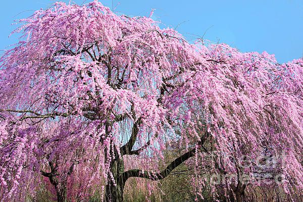 Branch Brook Park Pink Weeping Cherry Tree A Beautiful Thing To See At Branch Brook Park Nj Prints Ava Cherry Blossom Images Landscape Weeping Cherry Tree